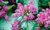 Purple Dragon Lamium: Purple Dragon Lamium