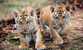 Up to 50% Off Admission to Tiger World