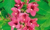 Weigela Shrub Bare Root Plant (Set of 1 or 3): Weigela Shrub Bare Root Plant (Set of 1 or 3)
