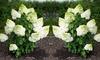 Hydrangea Magical Moonlight Plant