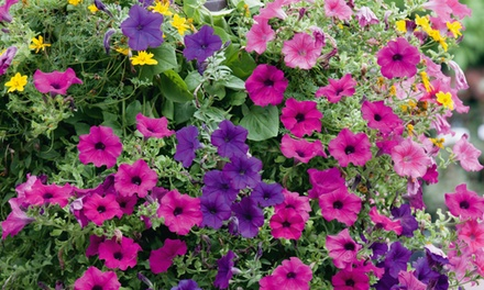 Up to 24 Summer Hanging Basket Plants