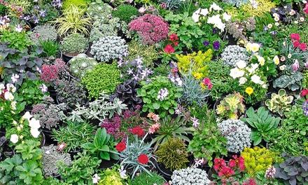 Mélange de rocaille de 20 ou 40 plantes vivaces basses