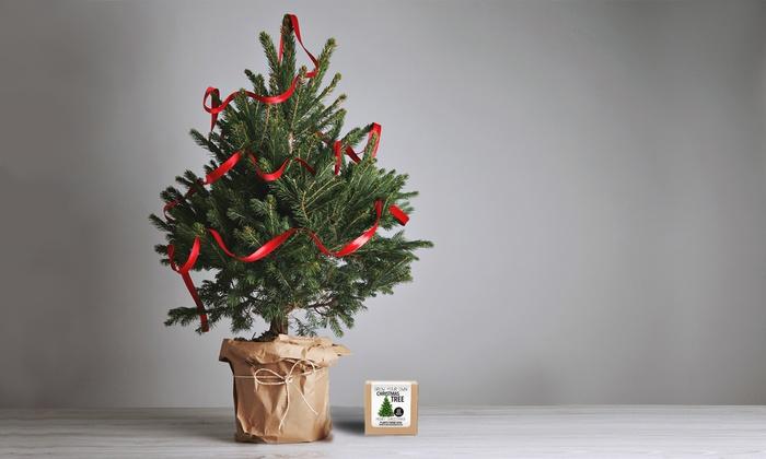 Grow Your Own Christmas Tree   Groupon Goods