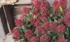 Skimmia Japonica Rubella-planten