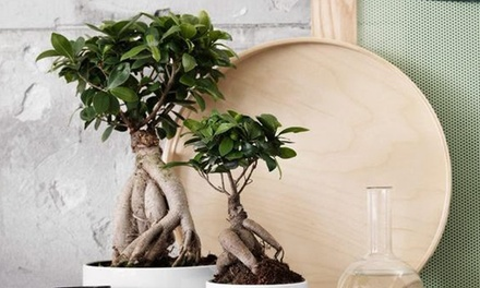 Set di Bonsai Ficus Ginseng