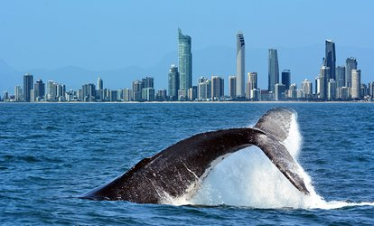 3-Hour Whale Watching and Marine Research Adventure with Gold Coast Dive Adventures (Up to $500 Value)