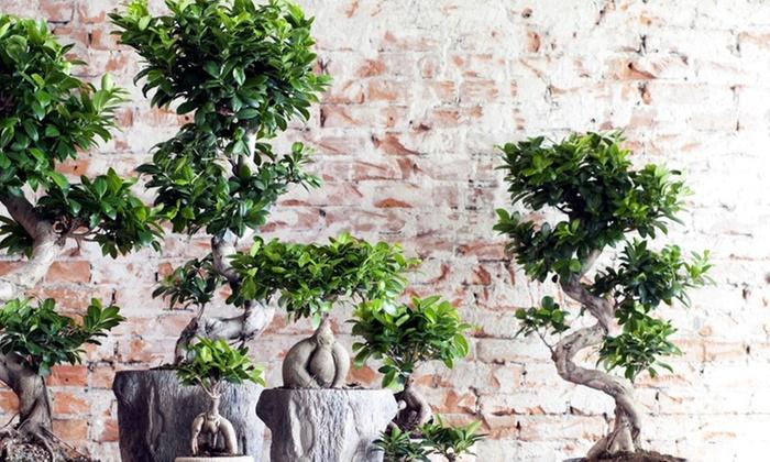 gingseng bonsai b umchen set groupon. Black Bedroom Furniture Sets. Home Design Ideas