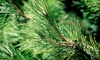 Victorian Tree Ranch - Sebastopol: $45 for a 6- to 8-Foot Pre-Cut Noble Fir at Victorian Tree Ranch ($90 Value)