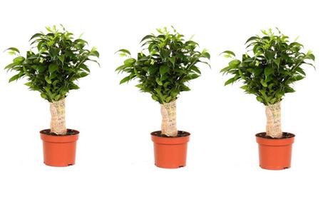 Set de 3 arbustos Ficus Benjamina en tronco de yute