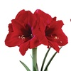 Petite Potted Amaryllis Gift Set (1-, 2-, or 4-Pack)