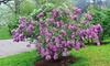 Pre-Order:Lilac Sunday (1 Plant)