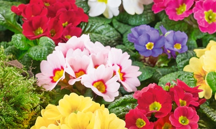Large Winter Flowering Primulas