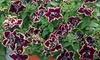 Petunia Tumbelina 'Superstar' Plants