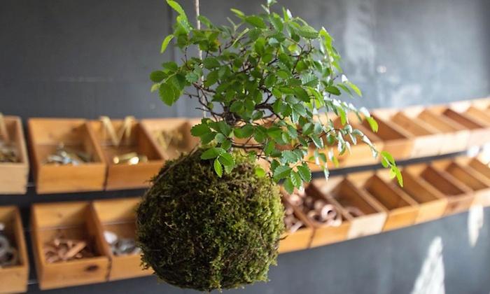 1x oder 2x bonsai baum groupon. Black Bedroom Furniture Sets. Home Design Ideas