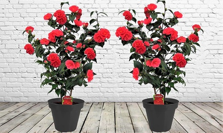 Lot de 2 Camellia Japonica, avec pot de décoration en option
