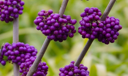 Beauty Berry Plants from £24.98 With Free Delivery