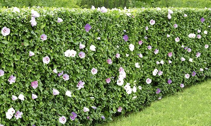 5 hibiscus hedge plants groupon goods - Haie hibiscus de jardin ...
