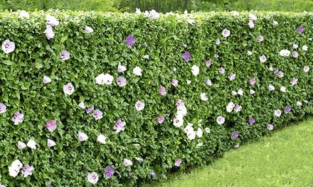 5, 10 or 30 Hibiscus Hedge Plants