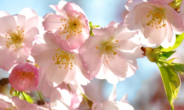 Groupon Goods Global GmbH: 1 ou 2 plants de racine de cerisier 'Amanogawa'
