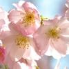 Plants de cerisier 'Amanogawa'