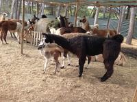 Visite libre ou pédagogique du centre délevage de lamas pour 1 à 6 personnes dès 6,99 € au Var Lamas