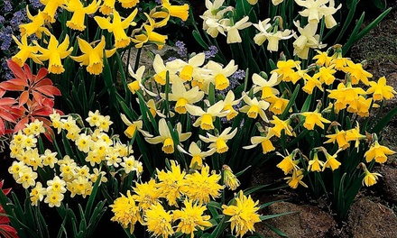 Miniature Daffodil Collection – 100 or 200 Bulbs from £8.98 With Free Delivery