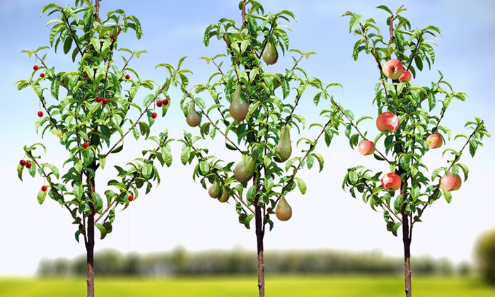 Groupon Goods Global GmbH: Orchard Fruit Trees Collection