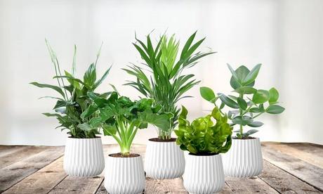 Set de 5 plantas purificadoras de interior