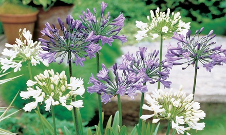 6 or 12 Agapanthus Blue and White