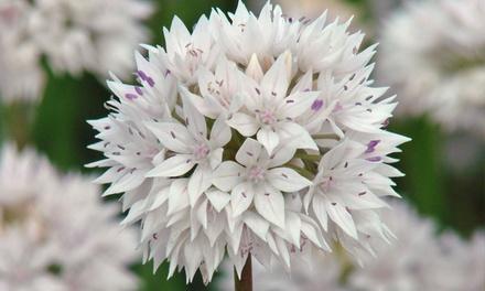 Allium Graceful Beauty 24, 48 or 96 Bulbs