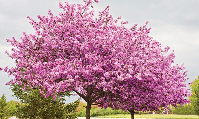 One, Two or Three Chinese Redbud Cercis Avondale Trees