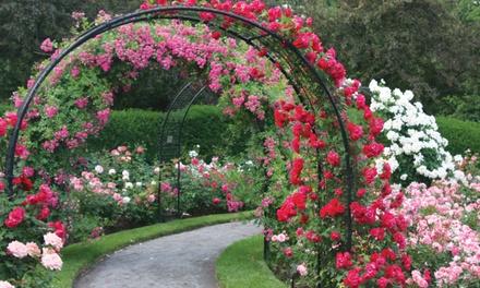 2 or 6 Climbing Rose Plants in Three Varieties