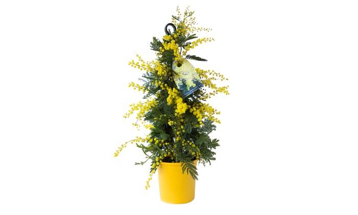 Pianta di mimosa altezza 100cm groupon for Mimosa in vaso