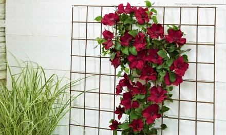 Set di 2 piante Clematis a spalliera disponibile in 3 colori