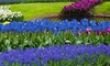 Pre-Order: Baby Blue Flower Bulb Collection (40-, 80-, or 160-Pack)