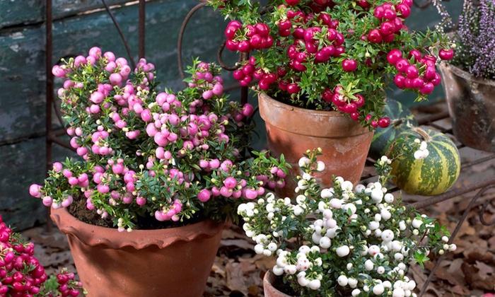 Pernettya Cuidados.Mix De 3 O 6 Plantas Pernettya Mucronata