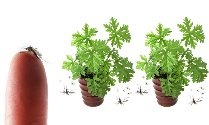 Citronella Plants 2 4 Or 8 Pack Groupon