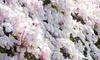 Clematis Montana 'Mayleen' Plant in 7cm Pot