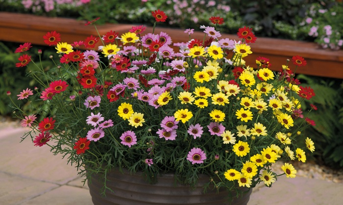 6 Argyranthemum Grandaisy Plugs Groupon Goods