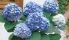 Lot de 6 hortensias bleus