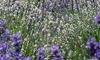 Up to 25% Off Lavender Picking at Snofalls Lavender Farm
