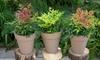 Set di 3 piante assortite di Bambù sacro