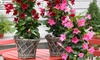 Mandevilla Sundaville Pyramidmit trompetenförmigen Blüten