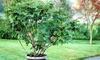 """Árbol de figas """"Ficus Carica"""""""