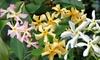 3er- oder 6er-Set Jasmin-Pflanzen