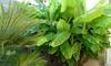 Potted Banana Plants