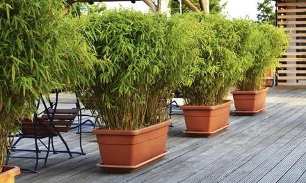 3 ou 6 plantes de bambou Fargesia Rufa hauteur 40 60cm