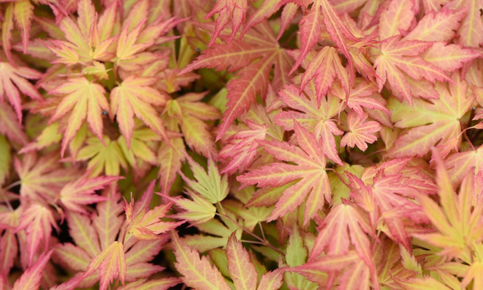 Japanese Maple Trees with Pots (£6.98)