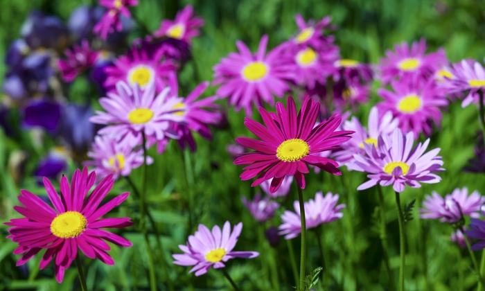 the dirty gardener assorted varieties of daisy seeds  groupon, Beautiful flower