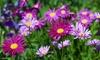 The Dirty Gardener Assorted Varieties of Daisy Seeds: The Dirty Gardener Assorted Varieties of Daisy Seeds